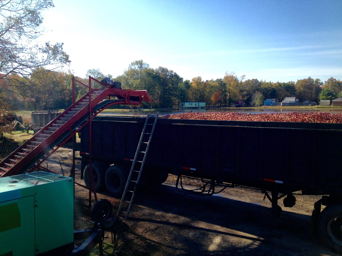 crane berries harvest